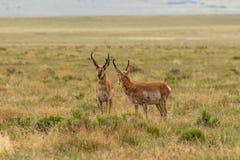 Pronghorn Antelope Bucks. A pair of pronghorn antelope bucks on the Utah prairie Royalty Free Stock Image