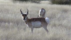 Pronghorn Antelope Bucks stock footage