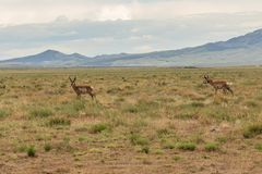 Pronghorn Antelope Bucks on the Prairie. A pair of pronghorn antelope bucks on the Utah prairie Stock Image