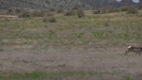 Pronghorn antelope bucks in rut. On the prairie stock video