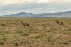 Pronghorn Antelope Bucks on the Utah Prairie. A pair of pronghorn antelope bucks on the Utah prairie Royalty Free Stock Photography