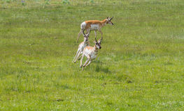 Pronghorn antelope chasing and running Royalty Free Stock Photo