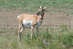 Pronghorn Antelope in Custer State Park Royalty Free Stock Images