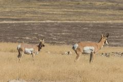 Pronghorn Antelope Buck and Doe Stock Images