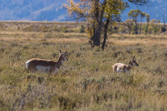 Pronghorn Antelope Doe and Fawn Royalty Free Stock Images
