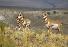 Pronghorn Antelope Doe and Fawns Stock Photos