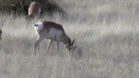 Pronghorn Antelope Doe Herd stock footage