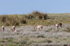 Pronghorn Antelope Doe Herd Stock Images