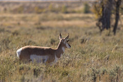 Pronghorn Antelope Doe Royalty Free Stock Photography