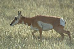 Pronghorn Antelope Doe Royalty Free Stock Photos