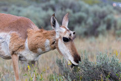 Pronghorn Antelope Royalty Free Stock Images