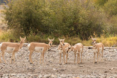 Pronghorn Antelope Does Stock Photo