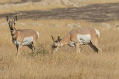 Pronghorn Antelope Does Royalty Free Stock Images