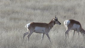 Pronghorn Antelope Does stock footage