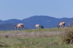 Pronghorn Antelope Does on Ridge Stock Photos