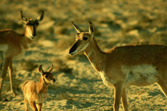 Pronghorn Antelope Family Royalty Free Stock Image