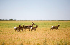 Pronghorn Antelope Family Stock Photo