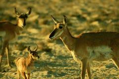 Pronghorn antelope family Royalty Free Stock Image