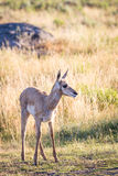 Pronghorn Antelope Fawn Royalty Free Stock Photography