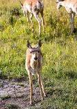 Pronghorn Antelope Fawn Royalty Free Stock Images