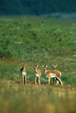 Pronghorn Antelope Fawns Royalty Free Stock Images