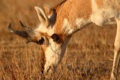 Pronghorn Antelope Feeding. A Pronghorn Antelope buck feeding on winter grasses Stock Image