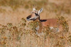 Pronghorn Antelope female Stock Photos