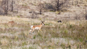 Pronghorn Antelope in field Stock Image