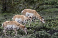 Pronghorn Antelope Royalty Free Stock Image