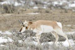 Pronghorn Antelope grazing Royalty Free Stock Images