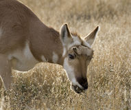 Pronghorn Antelope Grazing Montana Royalty Free Stock Photos