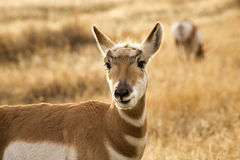 Pronghorn Antelope Grazing Montana Stock Photo