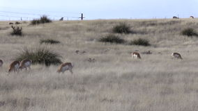 Pronghorn Antelope Grazing on the Prairie stock footage