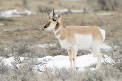 Pronghorn Antelope grazing Royalty Free Stock Images