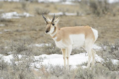 Pronghorn Antelope grazing Royalty Free Stock Photography