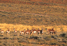 Pronghorn Antelope Herd Stock Images