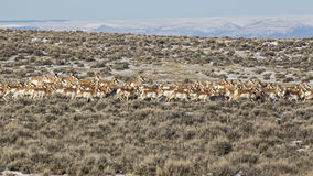 Pronghorn Antelope herd in desert. A large band of young and old Prong Horn Antelope with antlers or horns is seen running through the Wyoming badlands Stock Photography