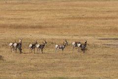 Pronghorn Antelope Herd Royalty Free Stock Images