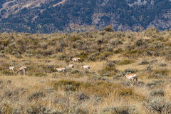 Pronghorn Antelope Herd Royalty Free Stock Photography