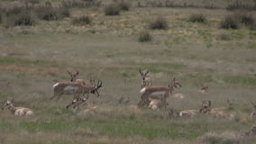 Pronghorn antelope herd. A group of pronghorn antelope in the rut on the prairie stock video footage