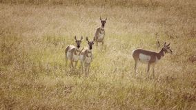 Antelope Herd in a Field in Colorado royalty free stock image