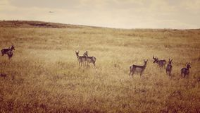 Antelope Herd near an Airport royalty free stock images