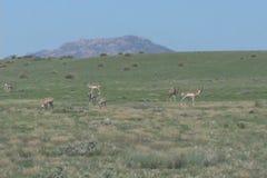 Pronghorn Antelope Herd on Prairie Stock Photography