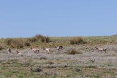 Pronghorn Antelope Herd Royalty Free Stock Photo