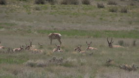 Pronghorn antelope herd in rut. A pronghorn buck with does during the rut stock footage
