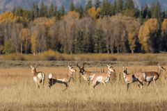 Pronghorn Antelope Herd in Rut Stock Photography