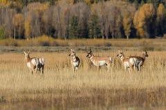 Pronghorn Antelope Herd in Rut Stock Photos
