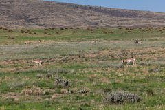 Pronghorn Antelope Herd in Rut Royalty Free Stock Image