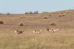 Pronghorn Antelope Herd in the Rut Stock Photos