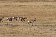Pronghorn Antelope Herd in Rut Royalty Free Stock Image